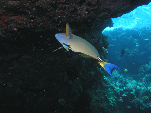 Surgeonfish in Lava Tube (c) 2003 Wayne Burger, Jack's Diving Locker
