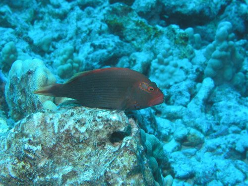 Hawkfish on Rock (c) 2003 Wayne Burger, Jack's Diving Locker